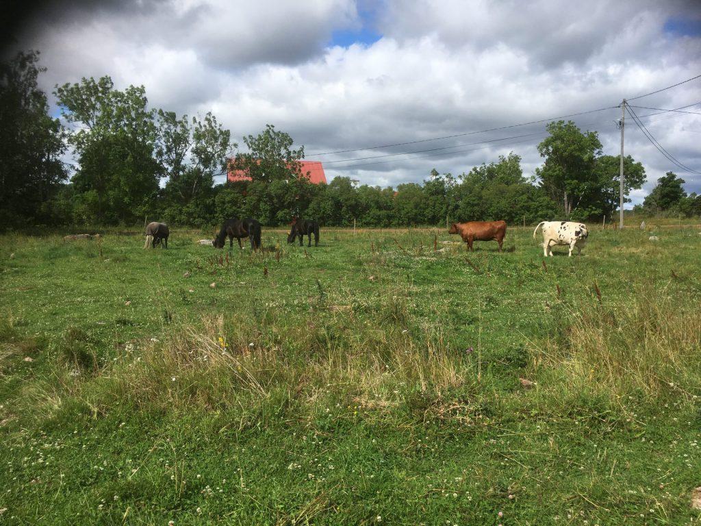 hästar och kor på bete